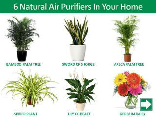 Do You Know That Plants Like Bamboo Palm Tree Sword Of S Jorge Areca Spider Plant Lily Peace The Gerbera Daisy Are Used