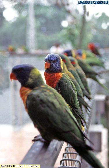 Jurong Bird Park, Aline Parrots