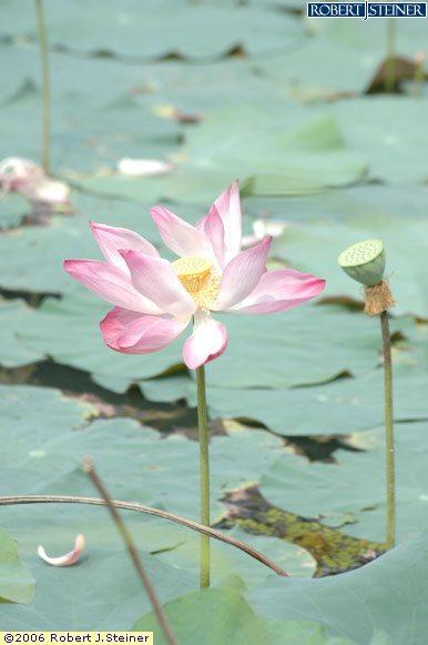 Singapore Botanic Gardens, The Sacred Lotus