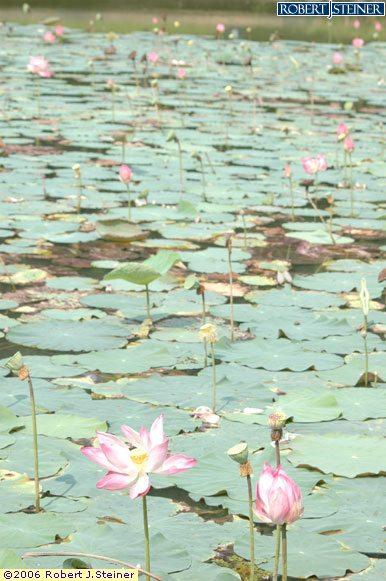 Singapore Botanic Gardens, Lotus Lake